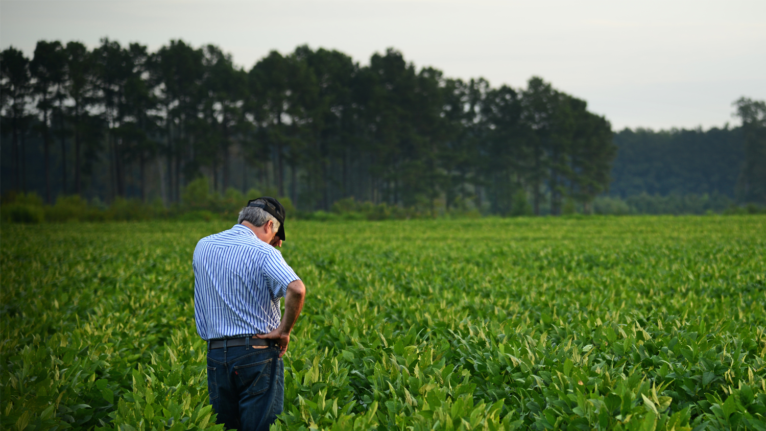 NC State University researcher examining a soybean field.